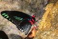 Colorful butterfly on salt lick a black common name rajah brooke s birdwing scientific name trogonoptera brookiana Stock Photography