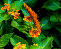 Colorful butterfly with wings extended a beautiful its rests on some beautiful tiny flowers Stock Photography