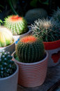 Colorful cacti cactus plants Royalty Free Stock Photography