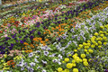 Colorful captivating spread flowers republic day flower show lalbagh bangalore india asia Royalty Free Stock Images