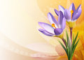 Colorful card with crocuses