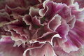 Colorful carnations Royalty Free Stock Photo