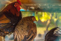 Colorful chicken and rooster with a beautiful bokeh