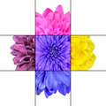 Colorful Chrysanthemum Flower Mosaic Design Royalty Free Stock Photos