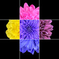 Colorful chrysanthemum flower mosaic design which is consisting of squares on x grid with parts of Stock Image