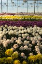 Colorful chrysanthemum flowers in glasshouse Royalty Free Stock Photo