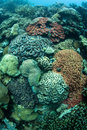 Colorful coral reef colonies thrive in palau micronesia palau harbors high marine biodiversity and offers spectacular scuba diving Royalty Free Stock Photo