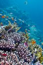 Colorful coral reef with exotic fishes at the bottom of tropical sea red in egypt Royalty Free Stock Image