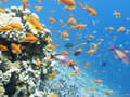 Colorful coral reef with shoal of fishes scalefin anthias in tro Royalty Free Stock Photo