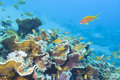 Colorful coral reef with shoal of fishes scalefin anthias in tropica sea Royalty Free Stock Photo