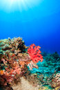 Colorful corals and sunrays Royalty Free Stock Photo