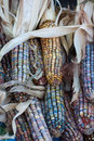 Colorful Corn Stock Photo