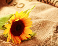 Colorful country background with a sunflower Royalty Free Stock Photo