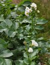 Potato plants with blossoms in vegatable garden Royalty Free Stock Photo
