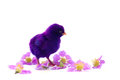 Colorful cute little baby chicken white background stock photo against Stock Photos