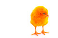 Colorful cute little baby chicken white background stock photo against Stock Images