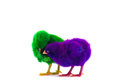 Colorful cute little baby chicken white background stock photo against Royalty Free Stock Photo