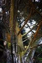 Colorful Cypress Tree Bark with Texture in Monterey California