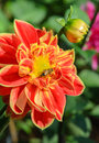 Colorful dahlia flower with bee Royalty Free Stock Photo