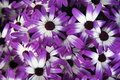 Colorful daisies white and purple african Royalty Free Stock Photo