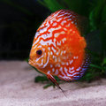 Colorful discus fish tropical Arkivfoto