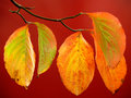 Colorful Dogwood Leaves on Red in Autumn Royalty Free Stock Photo