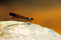 Colorful dragonfly on the rock Stock Photography