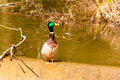 Colorful duck on the shore of a pond at sunrise Royalty Free Stock Photo