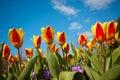 Colorful dutch tulips