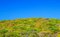 Colorful dwarf shrub of menorca with clear blue sky island balearic islands spain Royalty Free Stock Photos