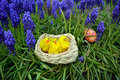 Colorful easter eggs and little chickens on a basket on a green grass