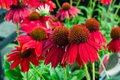 Colorful echinacea flowers in bloom Royalty Free Stock Photo