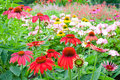 Colorful echinacea garden in summer with flowers selective focus shallow dof Royalty Free Stock Photo