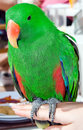 Colorful eclectus parrot Royalty Free Stock Photography