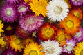 Colorful everlasting flower as background Royalty Free Stock Images