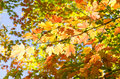 Colorful Fall Leaves Back Lit Royalty Free Stock Photography