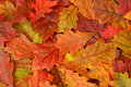 Colorful Fall Oak Leaves Stock Photos