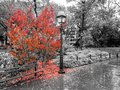 Colorful fall tree with leaves covering the ground in a black and white landscape in Washington Square Park, New York City Royalty Free Stock Photo