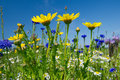 Colorful field with flowers blue and yellow wild Royalty Free Stock Images