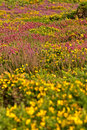 Colorful field of purple and yellow flowers cape of frehel brittany france Royalty Free Stock Images