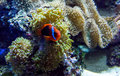 Colorful fish in an underwater world a swim a l salt water aquarium full of coral anemone and live rock Stock Photos