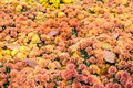 Colorful floral autumn background of orange chrysanthemums with Royalty Free Stock Photo