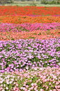 Colorful flower field Royalty Free Stock Photography