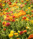 Colorful flower fields southern california orange yellow and red ranunculus flowers in the of san diego county Stock Photos