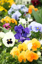 Colorful flower garden close up Stock Photos
