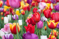 Colorful Flower Tulips Stock Photo