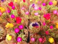 Colorful flowering cacti in pots