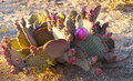 Colorful Flowering Cactus Royalty Free Stock Photo