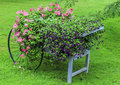 Colorful flowers cart vivid purple and pink in a vintage wheelbarrow Stock Images