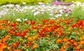 Colorful flowers in the flower garden are very beautiful.
